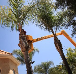 Palm Tree Trimming-Escondido CA Tree Trimming and Stump Grinding Services-We Offer Tree Trimming Services, Tree Removal, Tree Pruning, Tree Cutting, Residential and Commercial Tree Trimming Services, Storm Damage, Emergency Tree Removal, Land Clearing, Tree Companies, Tree Care Service, Stump Grinding, and we're the Best Tree Trimming Company Near You Guaranteed!