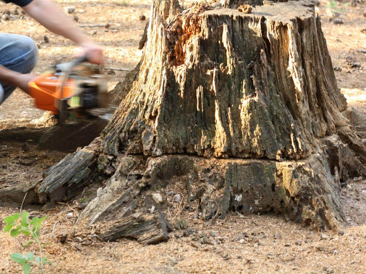 Stump Removal-Escondido CA Tree Trimming and Stump Grinding Services-We Offer Tree Trimming Services, Tree Removal, Tree Pruning, Tree Cutting, Residential and Commercial Tree Trimming Services, Storm Damage, Emergency Tree Removal, Land Clearing, Tree Companies, Tree Care Service, Stump Grinding, and we're the Best Tree Trimming Company Near You Guaranteed!